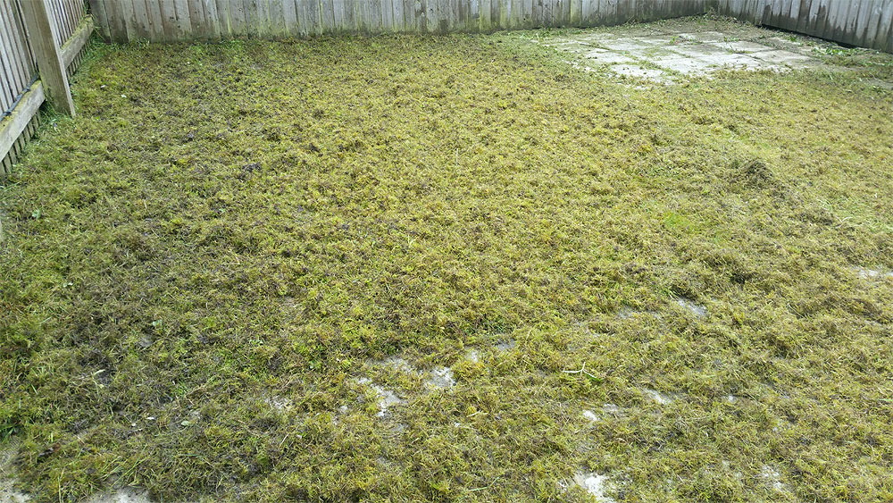 De-thatching a lawn in Bolton (moss removal)